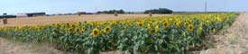 Panorama d'un champ de tournesols